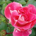 Rose de Compiègne